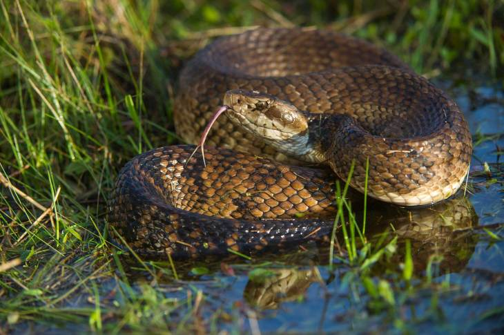 A cottonmouth pit viper extends its tongue while resting coiled up partially in water. Photo by conservation and wildlife photographer Pete Oxford.