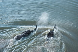 Two African elephants are shown swimming in a river. Photo by aerial photographer and conservation photographer Pete Oxford.