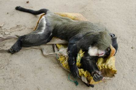 A dead monkey killed for bush meat is laid on the ground. Photo by conservation photographer Pete Oxford.