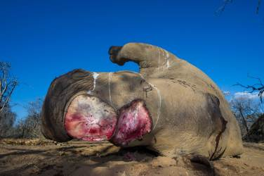 A poached white rhinoceros lies dead on the ground after having its horns severed. Photo by conservation photographer Pete Oxford.