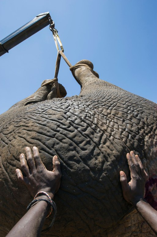 A tranquilized elephant is lifted by a crane for transportation. Photo by conservation photographer Pete Oxford.