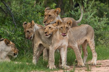 A lioness and her cubs are show all together. Photo by wildlife photographer and conservation photographer Pete Oxford.