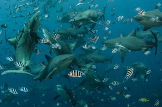 A frenzy of bull shark attack a school of fish. Photography by conservation and underwater photographer Pete Oxford.