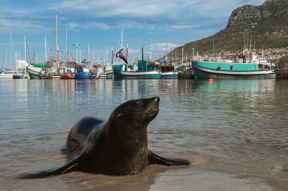 A fur seal exits the water on to a beach while ships are harboured in the background. Photo by travel photographer and conservation photographer Pete Oxford.