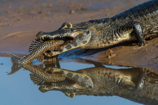 A caiman rests on the water's shore with a large catfish extending from its mouth. Photo by conservation and wildlife photographer Pete Oxford.