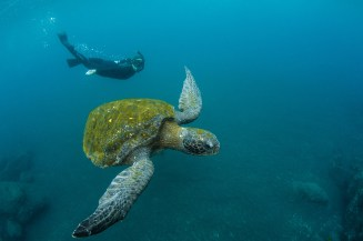 A tourist swims with a Galapagos Green Sea Turtle underwater. Photo by travel photographer and conservation photographer Pete Oxford.