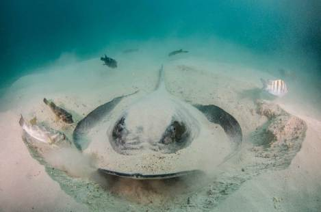 A diamond stingray is seen covered in sand waiting in anticipation of its prey. Photography by conservation and underwater photographer Pete Oxford.