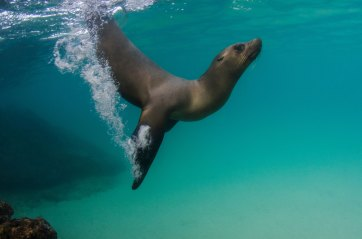 A Galapagos sealion diver underwater. Photo by underwater photographer Pete Oxford.
