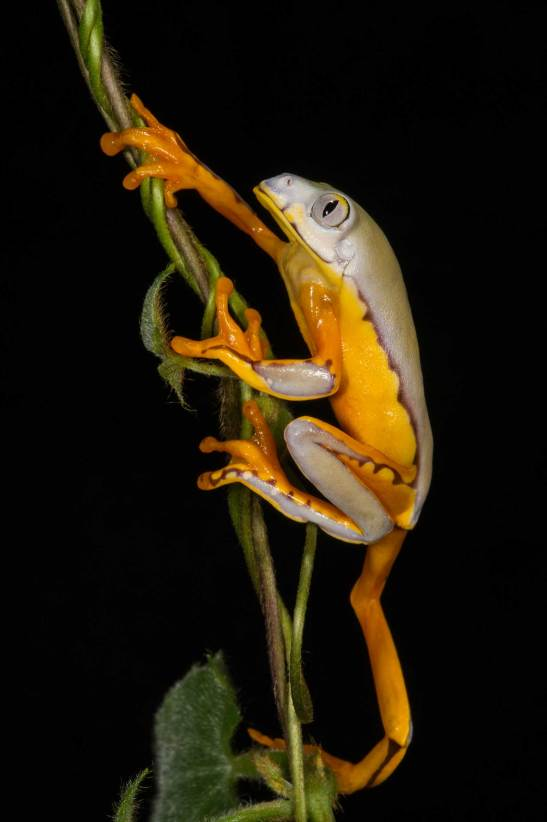 A splendid tree frog makes its way up some hanging vegetation. Photo by conservation and wildlife photographer Pete Oxford.