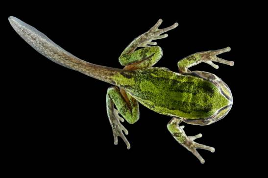 An Andean marsupial tree froglet shows its former stage of metamorphosis with the presence of a tail. Photo by conservation and wildlife photographer Pete Oxford.