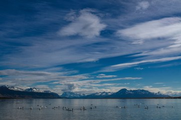 Black-necked swans swim in front of the Patagonian mountains. Photo by landscape photographer and conservation photographer Pete Oxford.