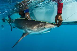 Measurements are taken of this Caribbean reef shark. Photograph by conservation photographer Pete Oxford.