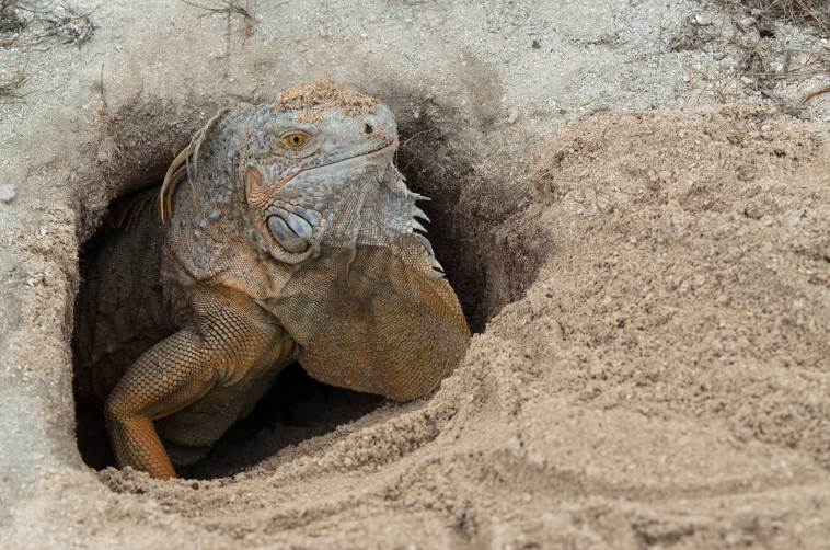 A green iguana emerges from its nesting site. Photo by conservation and wildlife photographer Pete Oxford.