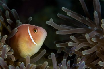 A pink anemone fish peaks out from an anemone. Photo by underwater photographer Pete Oxford.