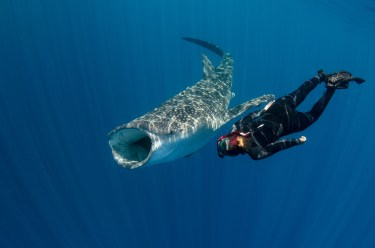 A diver swims with a whale shark as it opens its mouth to feed. Photo by travel photographer and conservation photographer Pete Oxford.