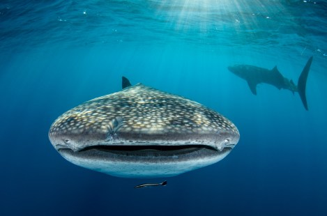 A whale shark swims directly at the camera while another one's silhouette is seen in the background. Photography by conservation and underwater photographer Pete Oxford.