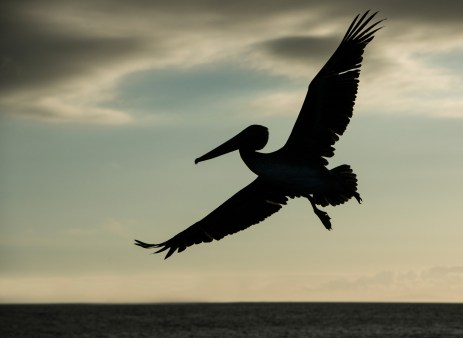 A brown pelican is silhouetted against the background in the Galapagos Islands. Photograph by conservation and wildlife photographer Pete Oxford.
