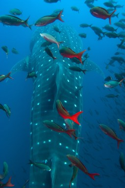 A whale shark is trailed by a school of fish. Photography by conservation and underwater photographer Pete Oxford.