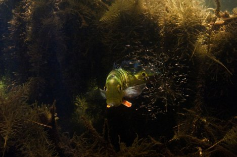A peacock bass shows its face under broken light. Photo by underwater photographer Pete Oxford.