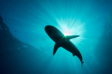 The silhouette of a Caribbean reef shark is seen against the rays of sun penetrating from the surface. Photography by conservation and underwater photographer Pete Oxford.
