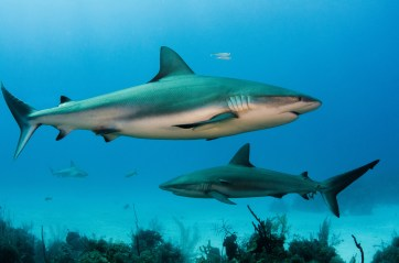 Several Caribbean reef sharks are shown swimming near to a reef. Photo by underwater photographer and conservation photographer Pete Oxford.