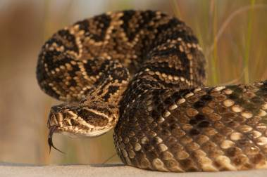 An eastern diamondback rattlesnake sticks its tongue out to sense who is around. Photograph by conservation and wildlife photographer Pete Oxford.