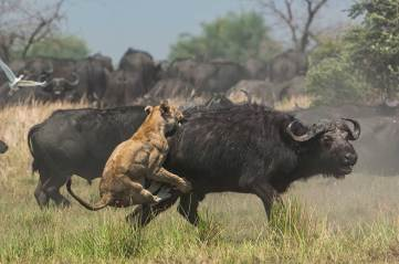 A lioness clings to the back of a buffalo as it tries to bring its prey down. Photograph by conservation and wildlife photographer Pete Oxford.