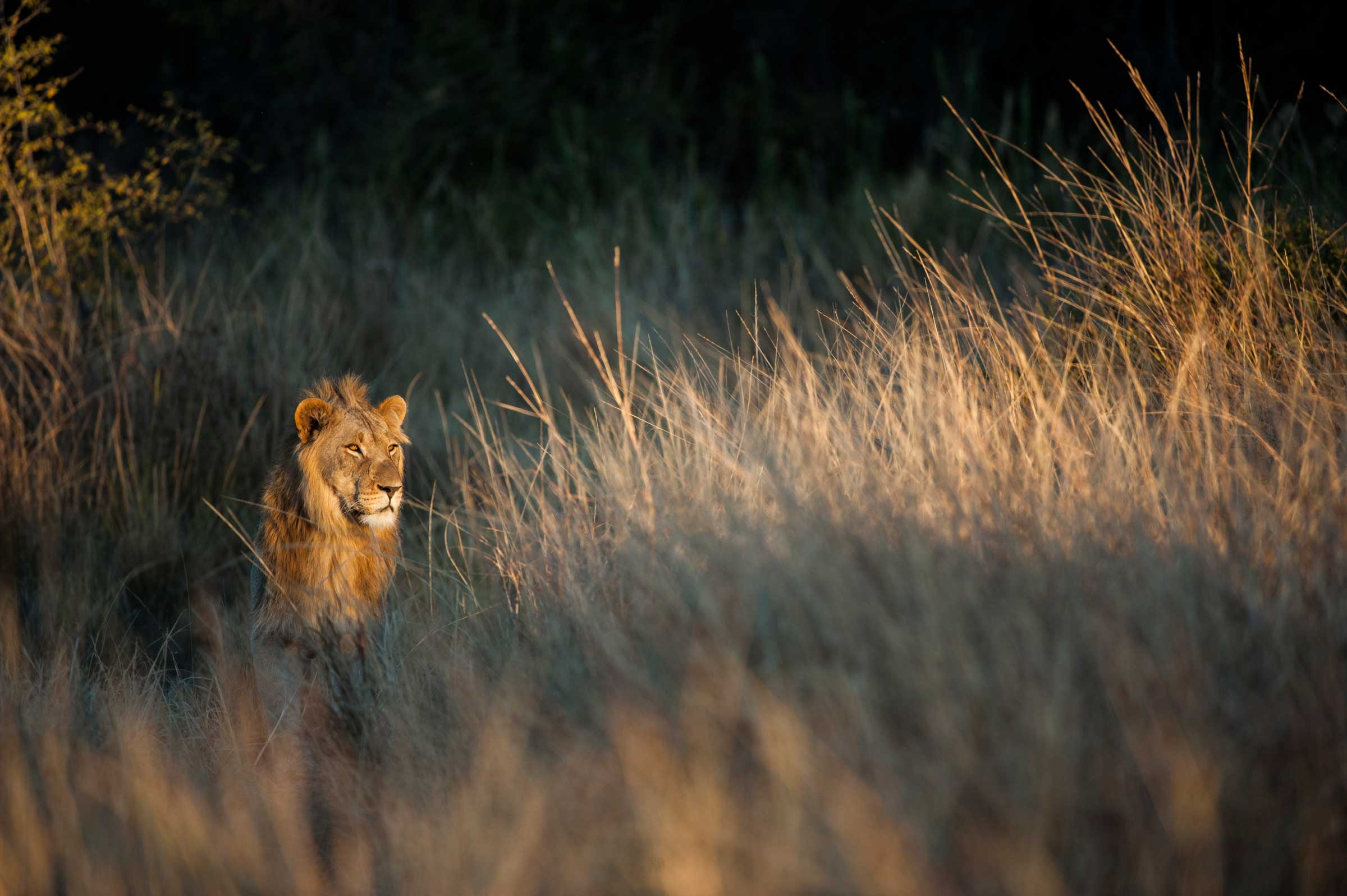 A lion gazes into the light while standing in patient wait in tall grass. Photo by conservation photographer Pete Oxford.