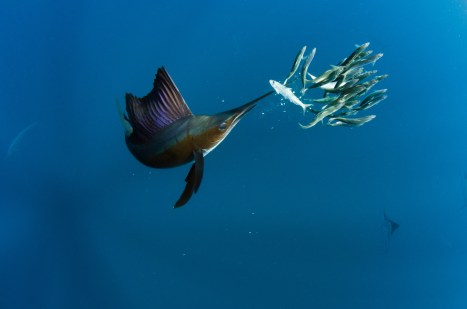 An Atlantic sailfish feeds from a small school of fish. Photography by conservation and underwater photographer Pete Oxford.