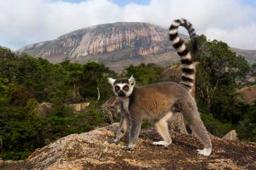 A ring-tailed lemur looks inquisitively at the camera with Andringitr Massif in the background. Photograph by conservation and wildlife photographer Pete Oxford.