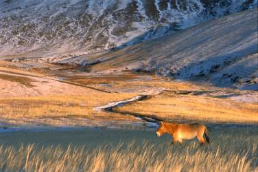 An endangered Przewalski's horse roams the Mongolian countryside in late day light. Photograph by conservation and wildlife photographer Pete Oxford.