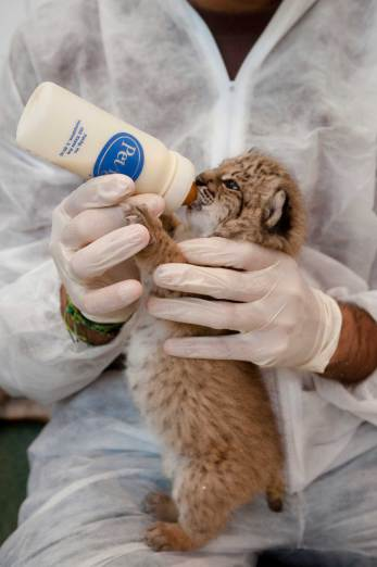 An Iberian lynx cub is hand fed by researchers because its mother was unable to take care of it. Photograph by conservation photographer Pete Oxford.