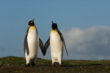 Two king penguins stand together. Photograph by conservation and wildlife photographer Pete Oxford.