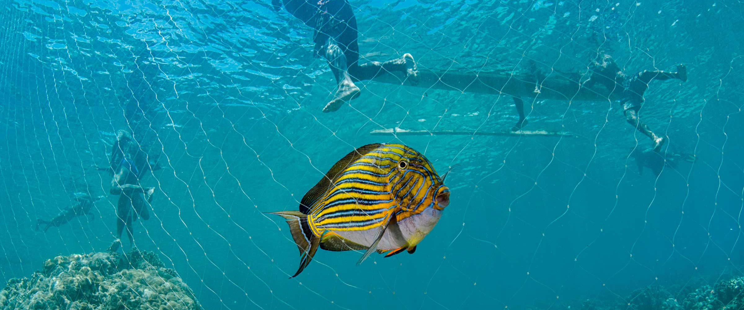 A fish is shown underwater that has been caught in a local Papuan net. Photo by conservation photographer Pete Oxford.