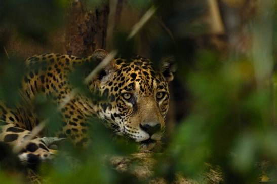 A wild jaguar is visible through leaves in the foreground. Photograph by conservation and wildlife photographer Pete Oxford.