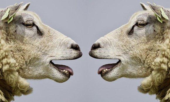 Zwei Schafe blöken sich gegenseitig an.