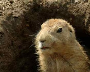 groundhog in hole