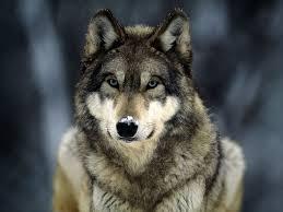 Wellington the Wolf