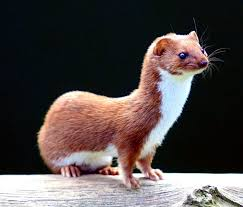 Wendell the Weasel