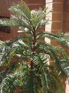 Wollemi Pine in our courtyard