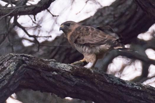 Hawk -DSC_9222