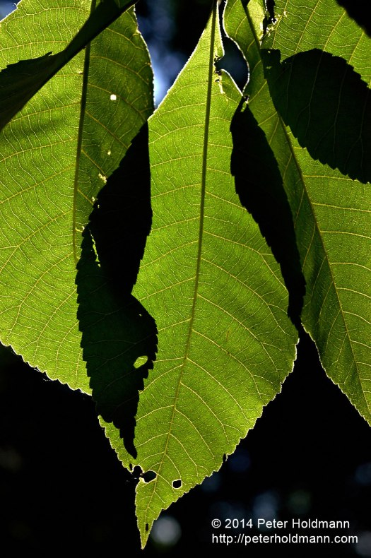 Leaves-DSC_0290