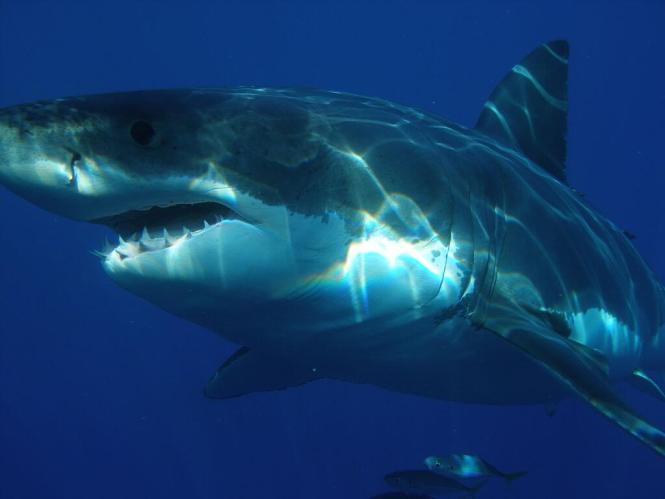 백상아리 상어