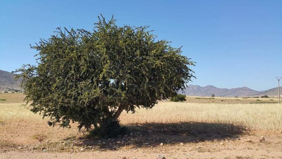 모로코 아르가니아 나무