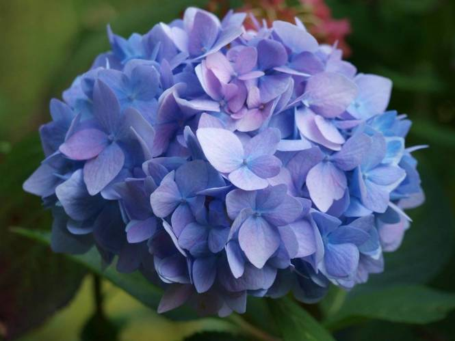 수국 꽃말