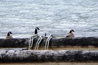 Canada Geese at Arrow Lake