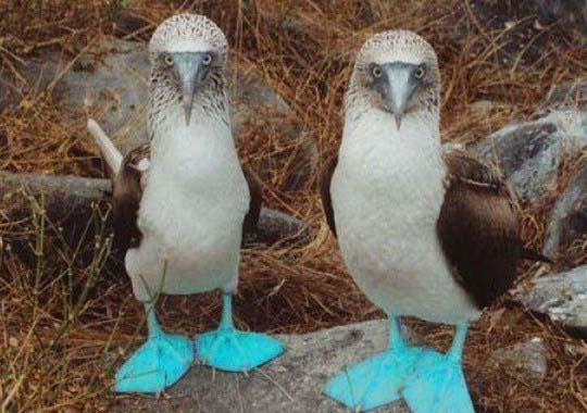 """Blåfotade sulor eller """"Blue Footed Boobies"""""""