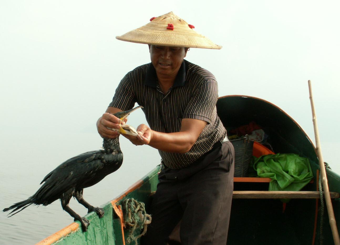 Fiske med skarv i sjön Erhai i Yunnan, Kina