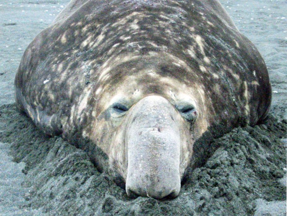 Elefantsäl som kan konsten att lata sig vid Hannah Point, Antarktis