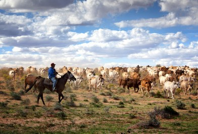Droving cattle - Anna Creek Station